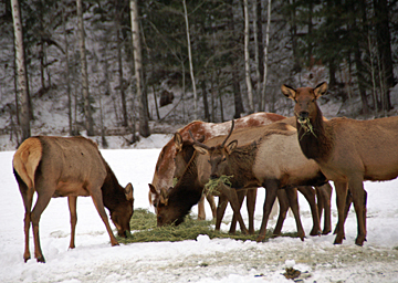horse and elk